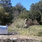Salgueiro Chorón cortado nas obras do río Ameneiro. BNG Ribera